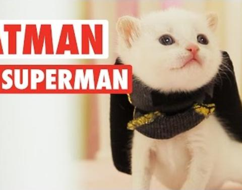 Kittens don caps for awesome batman vs superman parody