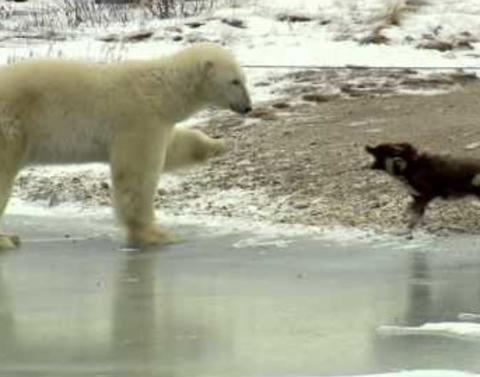 Polar bear tries to get dog to chill out