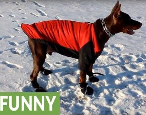 Doberman hates his winter coat