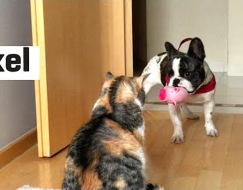 French bulldog begs to play cat is unamused