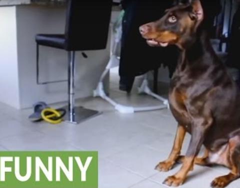 Dog goes insane over laser pointer