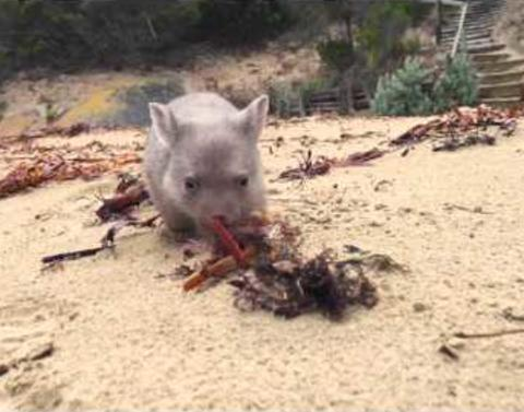 Australia is looking for a chief wombat cuddler and this is not