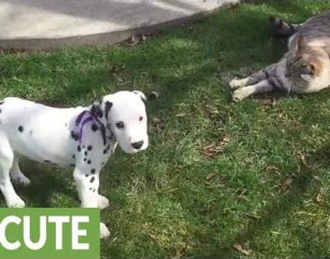 Dalmatian pups antics tests cats patience