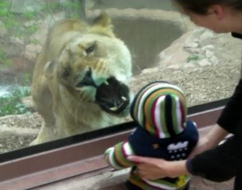 This lion wants to eat your baby