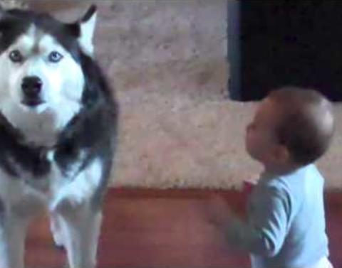 Husky does spot on impersonation of its baby