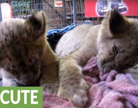 Cute lion cubs attempt to fight sleep