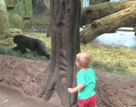 Toddler and gorilla play unexpected precious game of hide and se