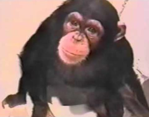 This chimp is learning to use the toilet