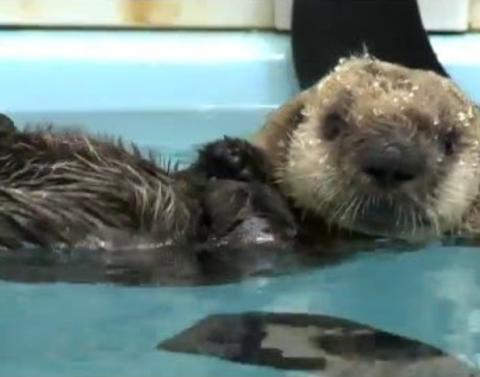 Baby sea otter gets second chance at life