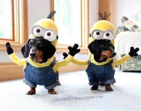 Wiener dogs dressed like minions wiener dogs dressed like minion