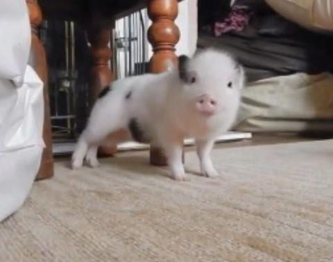Little piggy makes booty work to rihanna