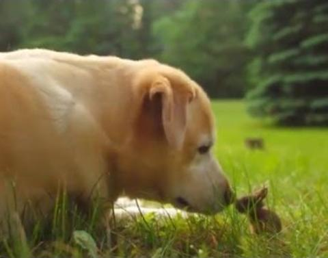 This yellow lab just met a baby bunny and our hearts just explod