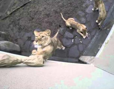 These lions dont look so scary when playing with toys