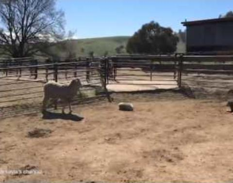 Puppy tries to run with the big dot dot dot sheep