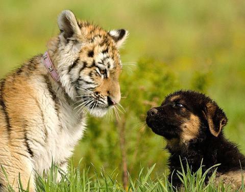 Cub vs puppy