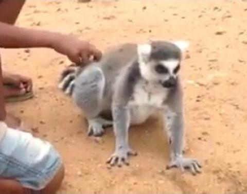 This lemur demands you keep scratching his back
