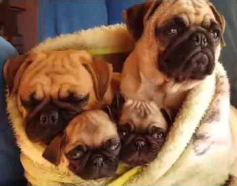 Pug family likes to cuddle dot dot dot melts hearts everywhere