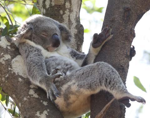 Asleep koala