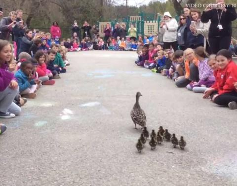 Watch as ducklings go to school dot dot dot literally