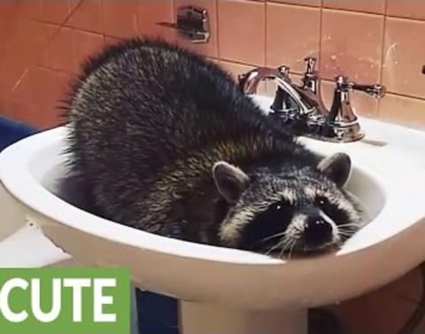 Raccoon bathes in bathroom sink
