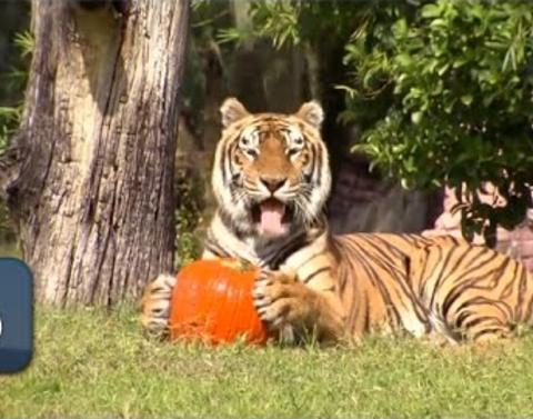 The wild kingdom has a weakness for pumpkin