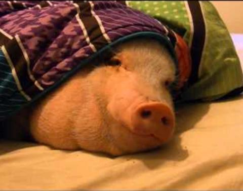 Only one thing can get this pig out of bed