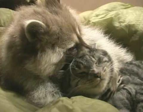 Raccoon just wants to be friends with cat